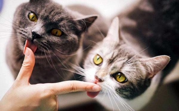 коты лижут валерьянку
