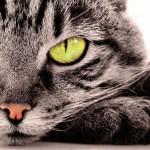 Почему нельзя смотреть кошке в глаза: приметы и научное объяснение