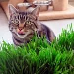 Трава для кошек: польза и правила выращивания