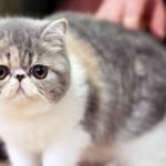 Экзотическая кошка: особенности внешности и характера плюшевого питомца