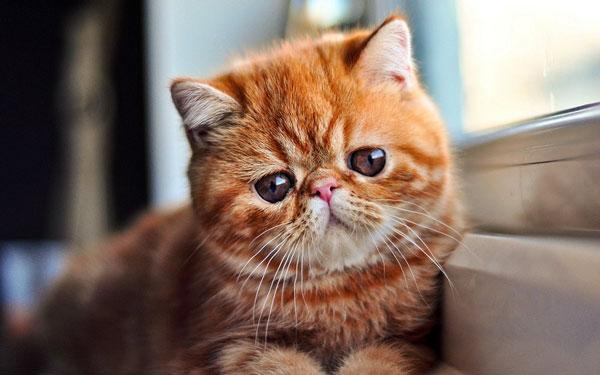 характер экзотической кошки