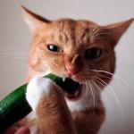 Боязнь котов перед огурцом: мифы и правда