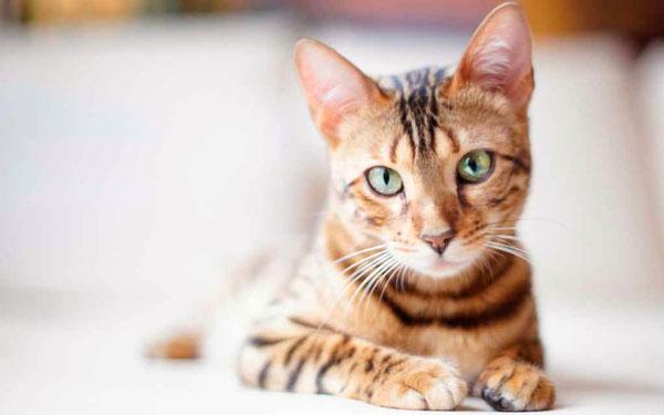 Почему кошки отзываются на кис кис