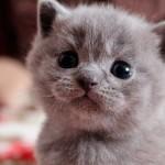 Вкусно и полезно: чем лучше всего кормить британских котят