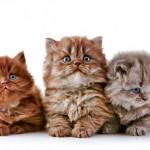 Чем накормить пушистого друга: особенности питания шотландских котят