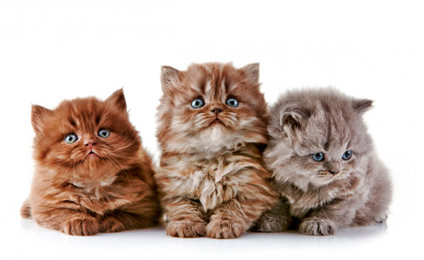 Чем кормить шотландского котенка
