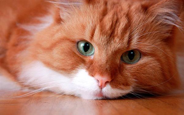 Клички для рыжих кошек