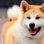 Акита-ину: порода верных и преданных собак