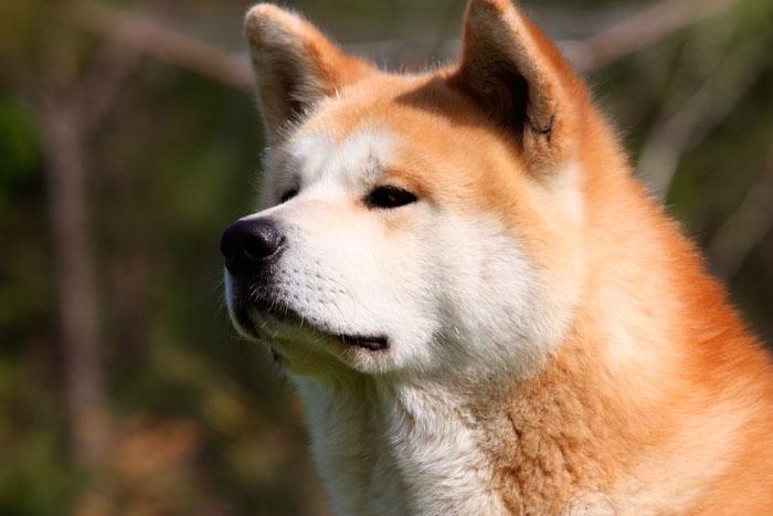 Порода собак акита-ину