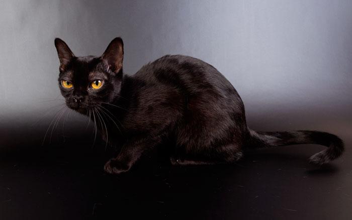 Характер бомбейской кошки