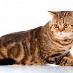 Скоттиш Страйт: прямоухая кошка родом из Шотландии