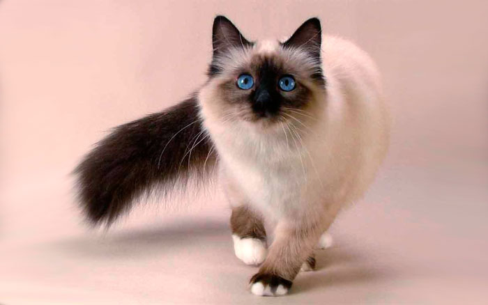 Уход за балинезийской кошкой