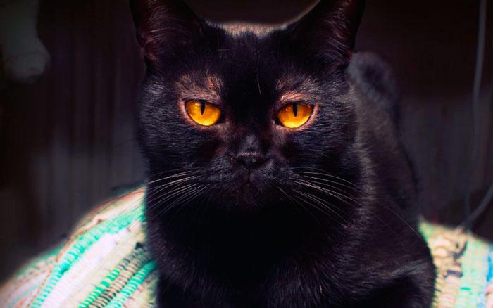 Внешний вид бомбейской кошки