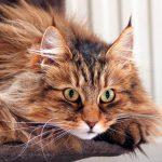 Норвежская лесная кошка: пушистая и величественная