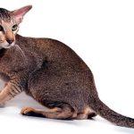 Ориентальная кошка: грациозная и утонченная