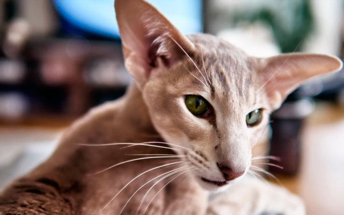 Уход за ориентальными кошками