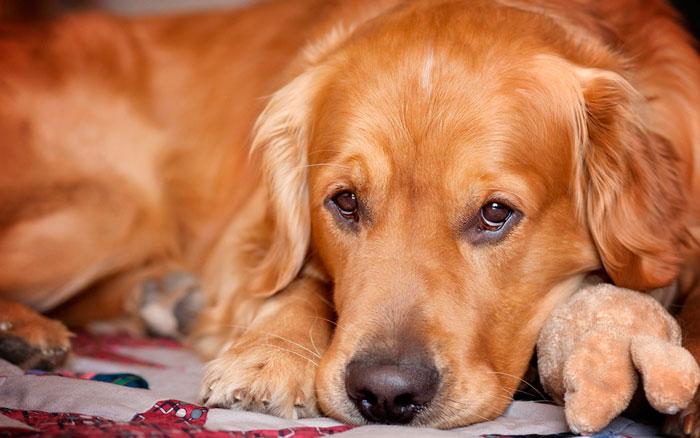 Ложная беременность у собаки
