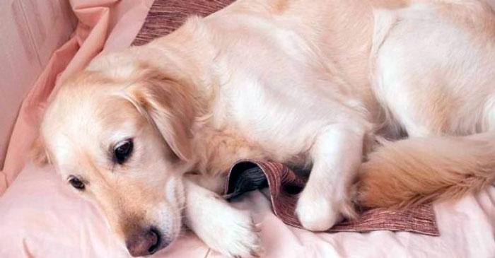Признаки эндометрита у собак